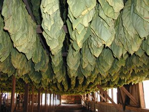 Cigar Tobacco: Air Curing