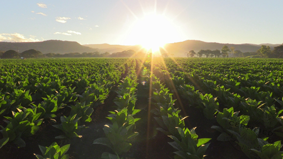 Sunrise over Tobacco Field